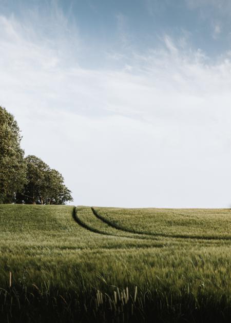Traktorspår i vetefältet